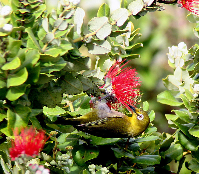 ~ Japanese White-eye Sips Lehua Nectar ~<br /> <br /> Ohia forests of Lower Puna, Island of Hawaii<br /> <br /> (Order form #37)