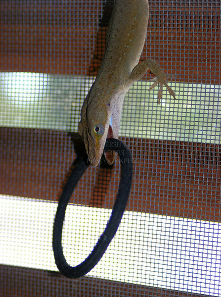 My missing Hair Ties ~ Anole Lizard Fun -3<br /> <br /> We caught this wild anole lizard climbing backwards up my screen door inside the house today carrying one of my ponytail hair ties in his mouth. Then he ran around the floor carrying it like a new toy~<br /> <br /> We watched for a while to see what he was going to do with it. He would twist it back and forth once as if he'd caught a bug, then would drop it.