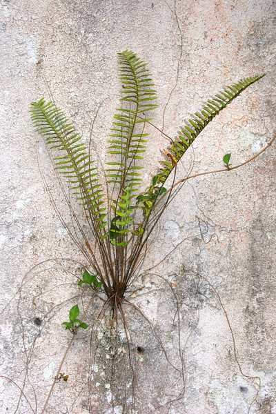 This fern was growing in the cracks of a decaying cement wall in an abandoned fruit processing plant.<br /> <br /> I was impressed by its tenacity and simple beauty. I think everyone should have a fern growing in his or her walls :)