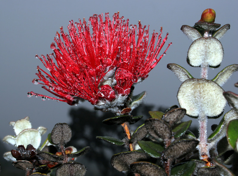 Lehua Blossom and newly grown leaves of the Ohia Tree<br /> <br /> The closer I got to these lehua flowers the more fun they became.<br /> Not only the water droplets from the steady drizzle, but the way the budding stem leaves (called liko lehua) made these wonderful little cut-out shaped animal people.
