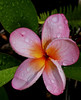 Plumeria blossoms afer morning Trade Shower -3<br /> <br /> Island of Hawaii