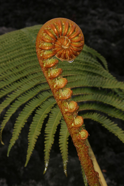 Hapu`u -- Tree Fern native to Hawaii<br /> <br /> Life unfurls for this mighty fern. Each branch of the soon-to-be fronds are already curled up on this budding stem just awaiting  spring to open and soak up the sunlight.