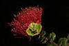 ~ Night Rain Lehua Blossom ~<br /> <br /> Flower of Hawaiian Royalty<br /> <br /> Volcanoes National Park on the Island of Hawaii<br /> <br /> (Order form #61)