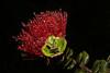 ~ Night Rain Lehua Blossom ~<br /> <br /> Flower of Hawaiian Royalty<br /> <br /> Volcanoes National Park on the Island of Hawaii<br /> <br /> (Order form #61)