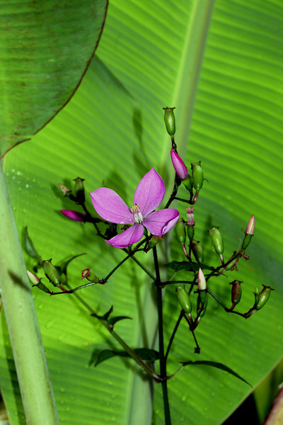 Wildflower and banana leaf