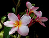 Plumeria blossoms afer morning Trade Shower<br /> <br /> Island of Hawaii