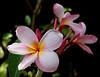~ Pink Plumeria #1 ~<br /> <br /> (Order form #42)