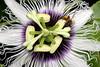 ~ Nap Time? ~<br /> <br /> Passion flower, or liliko`i are magnets for honey bees.<br /> <br /> (Order form #63)