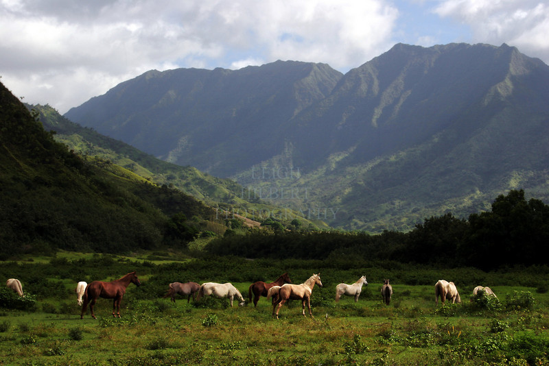 ~ Wainiha Horses ~ #2<br /> <br /> --Free-range horses on the Island of Kauai, Hawaii