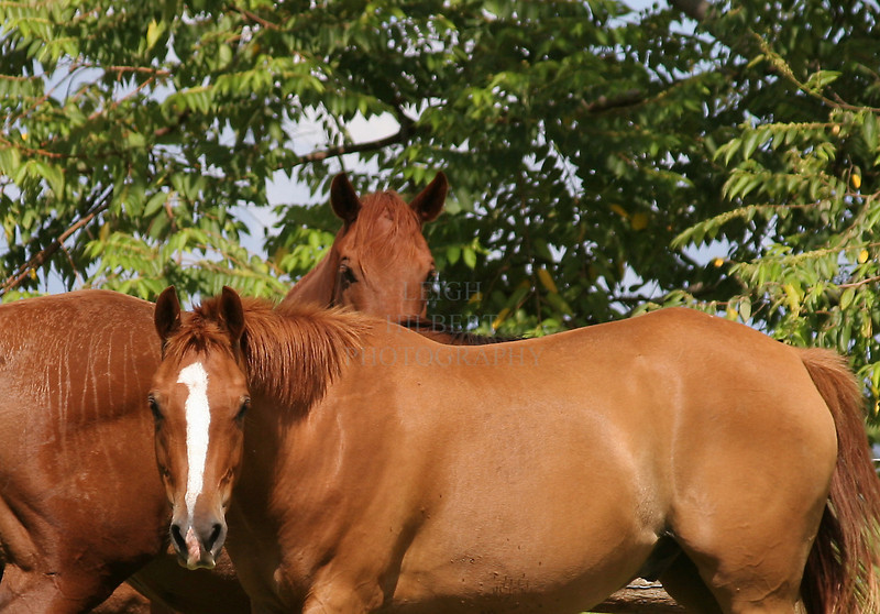 Kapoho Horses, Island of Hawaii #1<br /> <br /> IMG#8580