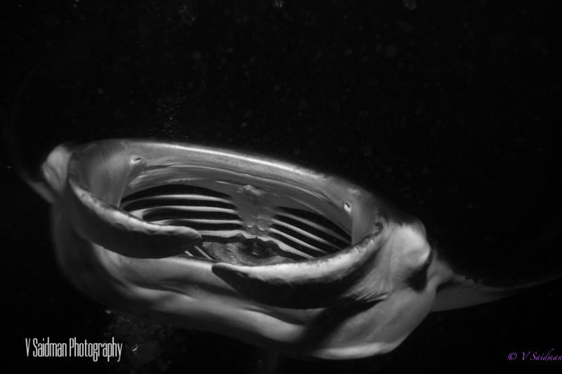 Black and White Manta