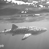 Black and White Whale Shark