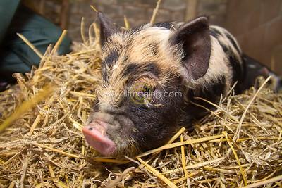 17 ILF Mar Shankend Pigs 0012