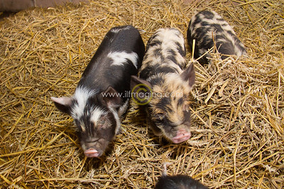 17 ILF Mar Shankend Pigs 0021