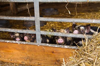 17 ILF Mar Shankend Pigs 0022