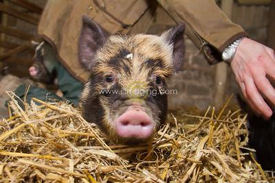 17 ILF Mar Shankend Pigs 0013