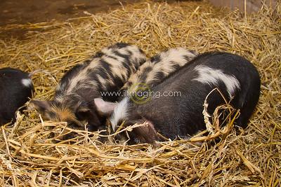 17 ILF Mar Shankend Pigs 0011