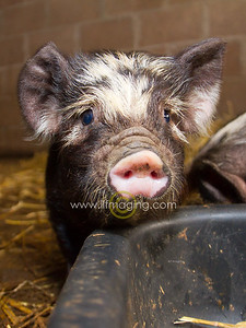 17 ILF Mar Shankend Pigs 0017