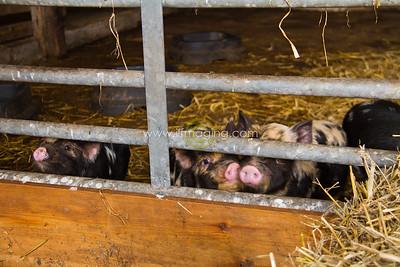 17 ILF Mar Shankend Pigs 0023