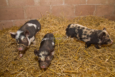 17 ILF Mar Shankend Pigs 0014