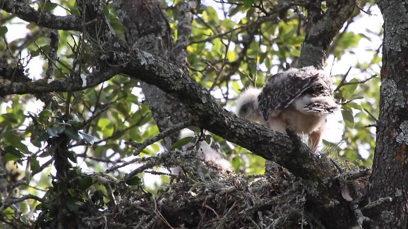 Red-shouldered hawk chicks - Mon, Jun 1, 2015