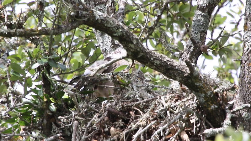 Red-shouldered hawk chick videos
