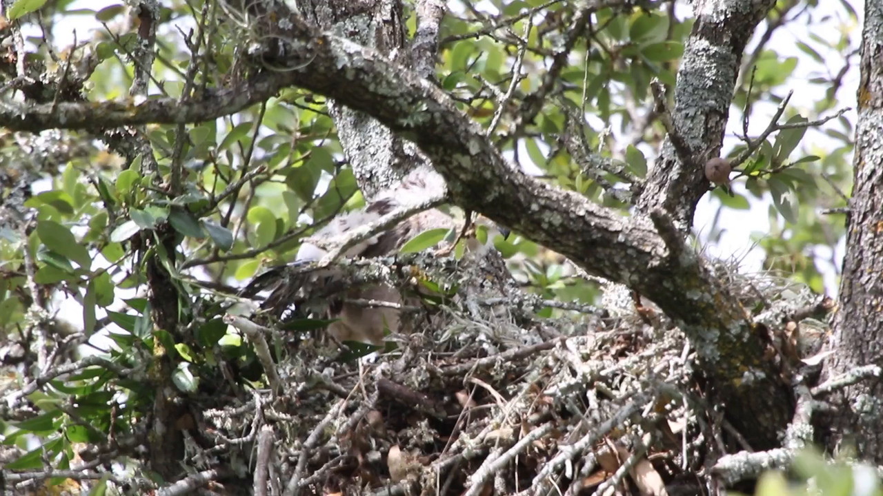 Red-shouldered hawk chick - Sun, May 31, 2015