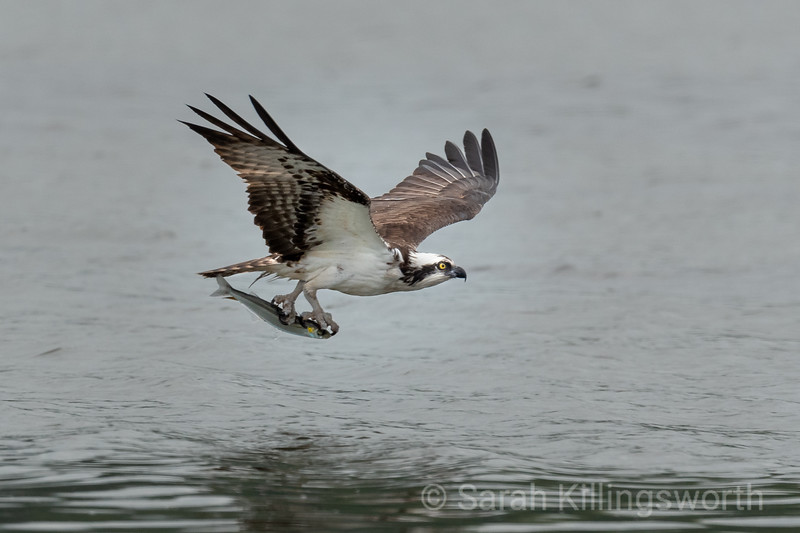 an osprey catches a meal on the Tomales Bay in May 2020