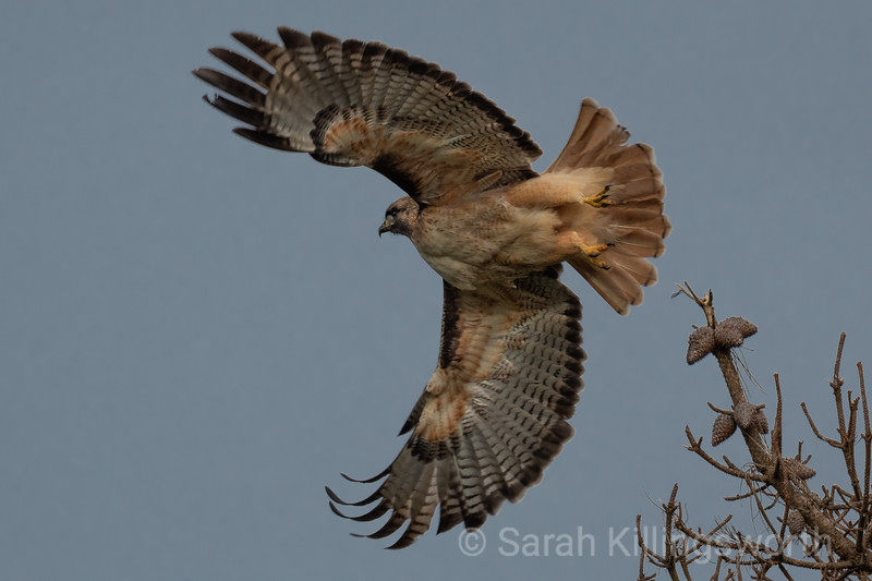 red-tail takes fight