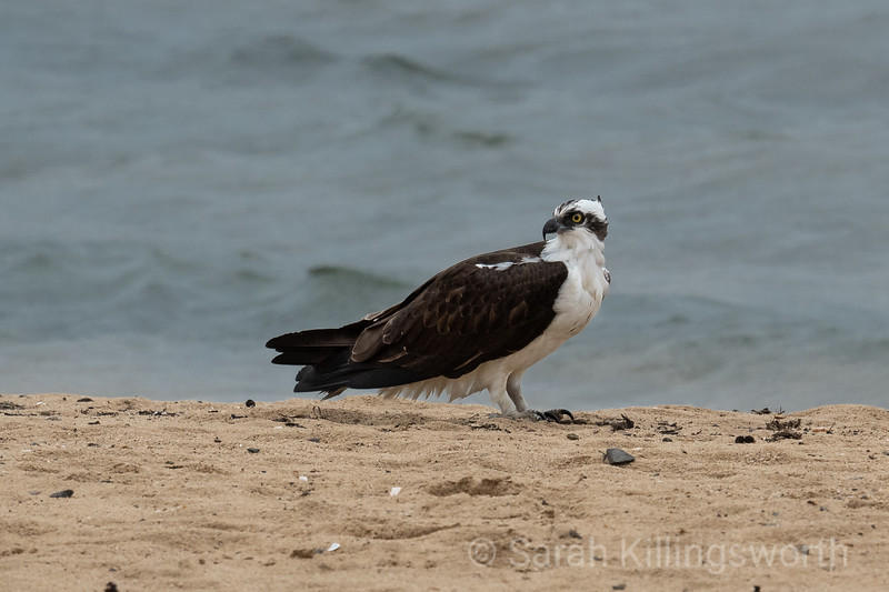 osprey on the beach