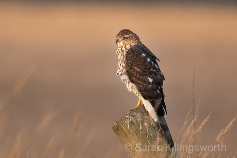 cooper's hawk at sunrise along the trail