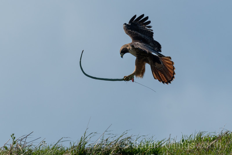 red-tailed hawk catches a garter snake