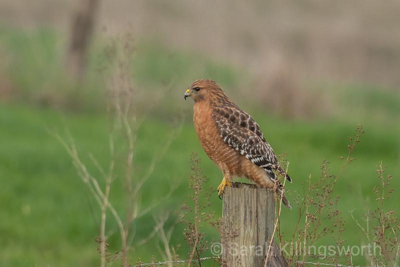 red-shouldered hawk in profile