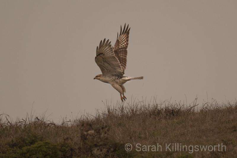 ferruginous hawk takes flight