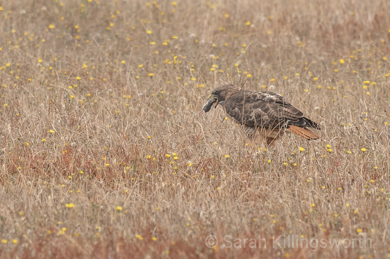 red-tailed hawk with a mouse
