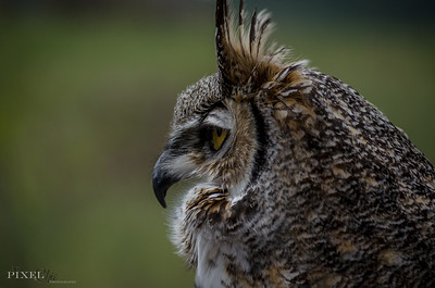 Great Horned Owl (31)