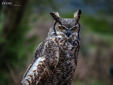 Great Horned Owl (33)