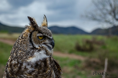 Great Horned Owl (36)