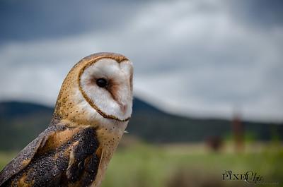 Barn Owl (30)