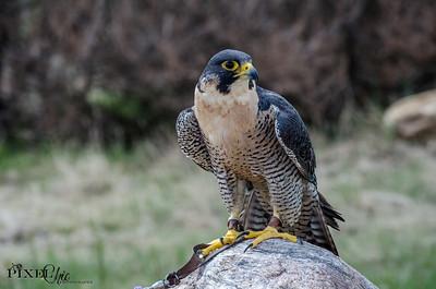 Peregrine Falcon (35)