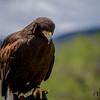 Harris' Hawk (23)