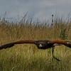 Harris' Hawk (25)
