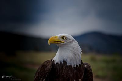 Bald Eagle (34)