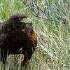 Harris' Hawk (26)