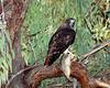 Redtail hawk, fresh squirl