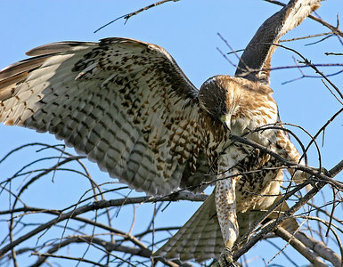 Hawks, harriers , falcons , vultures