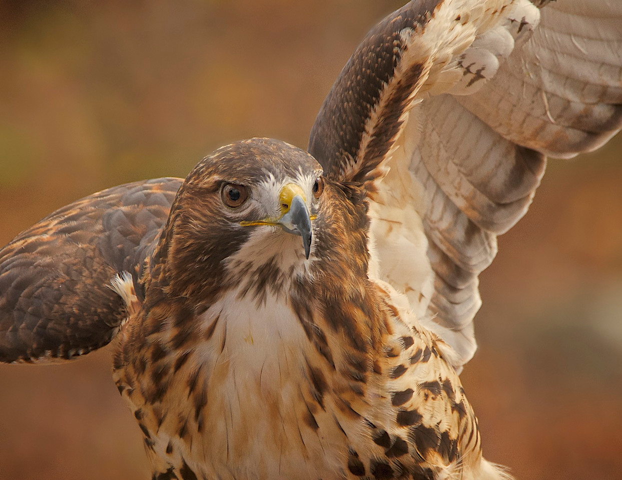 A rescued and rehabilitated red tailed hawk shows off her winds at Hawk Mountain in Pennsylvania.
