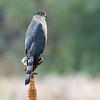 Cooper's hawk - adult