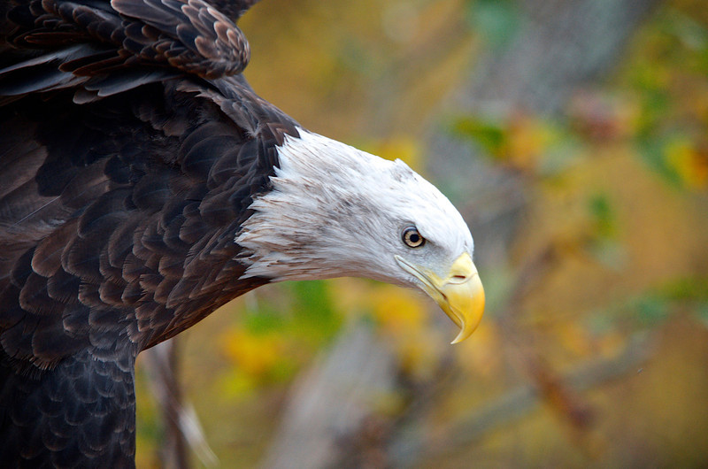 In 1782, the Bald Eagle was declared the US national bird, over the objections of the eminent Benjamin Franklin, who thought that distinction should belong to the turkey. In 2011, approximately 220 million turkeys were eaten in the US, mostly at Thanksgiving, while the protected eagle enjoys an amazing resurgence following environmental threats in the 20th century. Here's to the turkey, the eagle, and Thanksgiving!