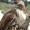 Red-tailed hawk - juvenile female